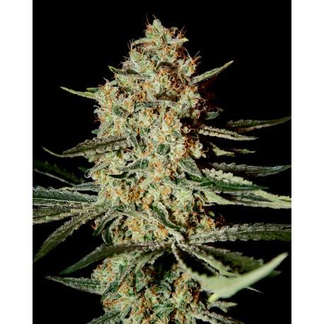 buy cannabis seeds Himalaya Gold