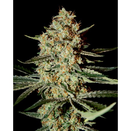 buy cannabis seeds Himalaya Gold