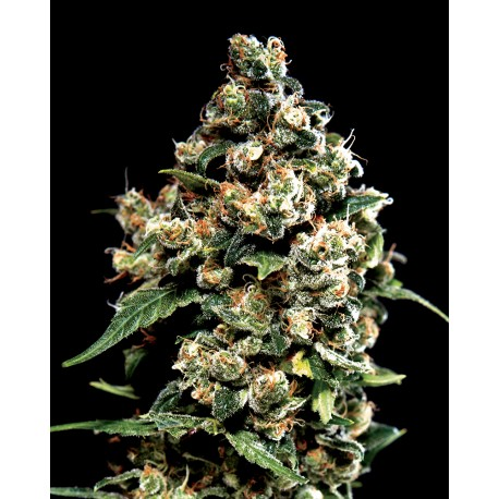 buy cannabis seeds Jack Herer