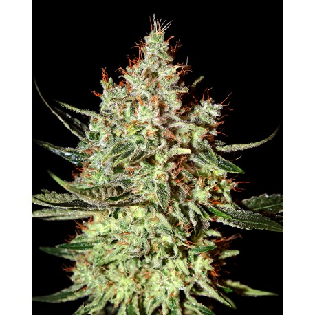 buy cannabis seeds K Train