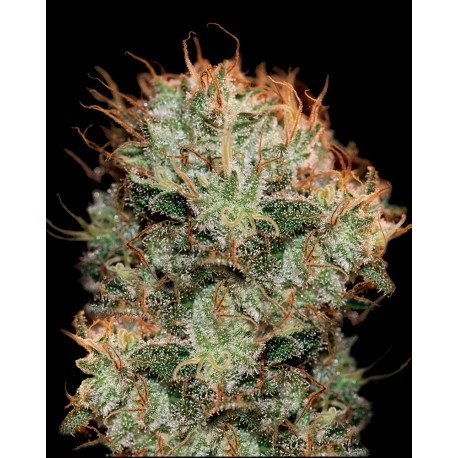 buy cannabis seeds Kaia Kush
