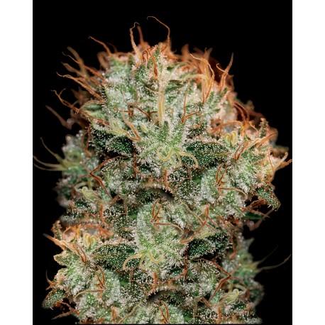 buy cannabis seeds Kaia Kush
