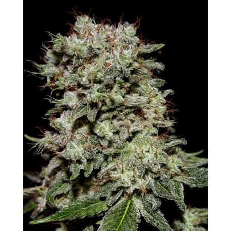buy cannabis seeds Kalashnikova