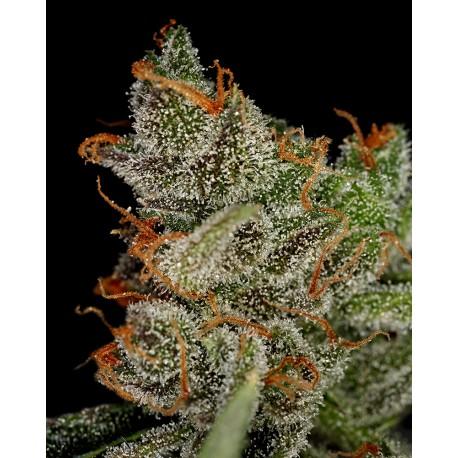 buy cannabis seeds King's Kush
