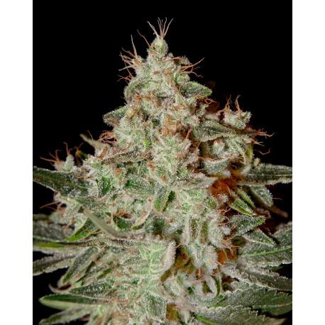 buy cannabis seeds Lemon Skunk