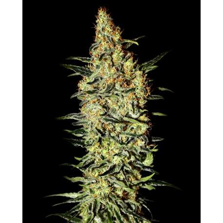 buy cannabis seeds Neville's Haze