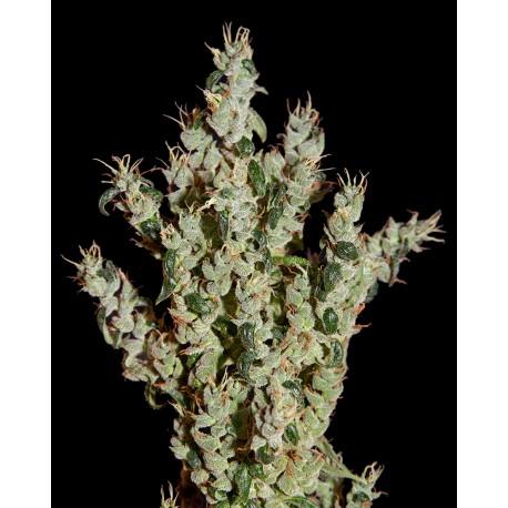 buy cannabis seeds NL5 Haze Mist