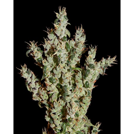 buy cannabis seeds NL5 Haze Mist