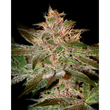 buy cannabis seeds Pure Kush