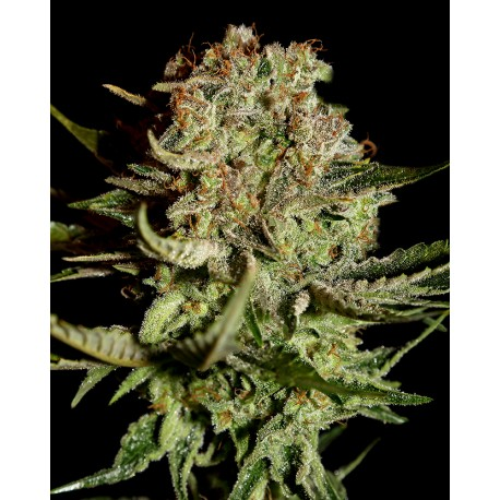 buy cannabis seeds Super Bud