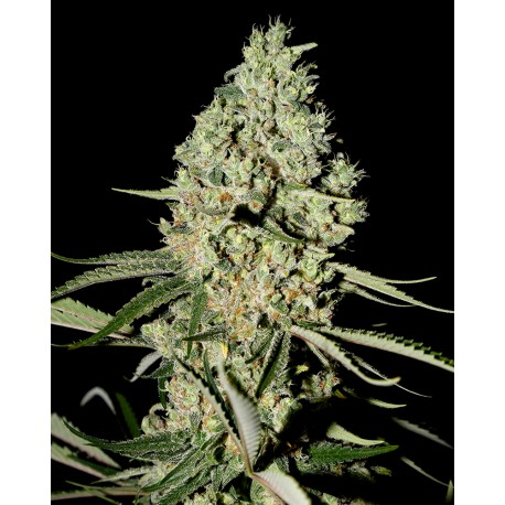 buy cannabis seeds Super Critical