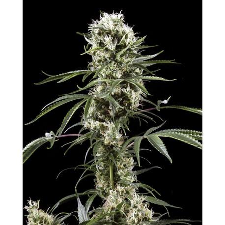 buy cannabis seeds Super Lemon Haze