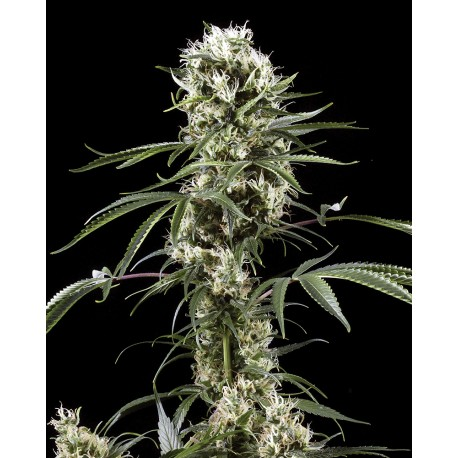 buy cannabis seeds Super Lemon Haze
