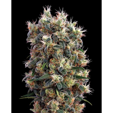buy cannabis seeds The Church