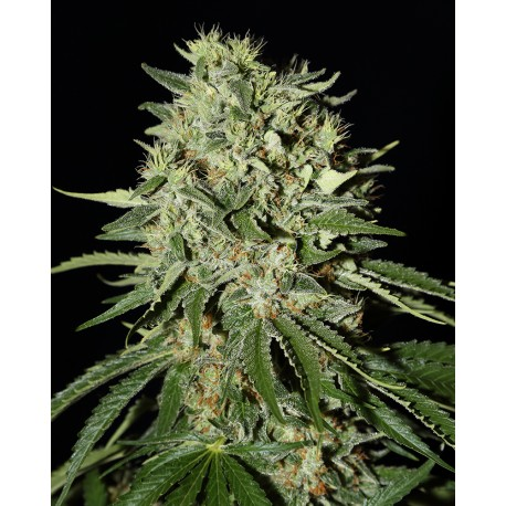 buy cannabis seeds The Doctor