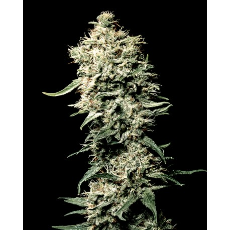 buy cannabis seeds White Rhino