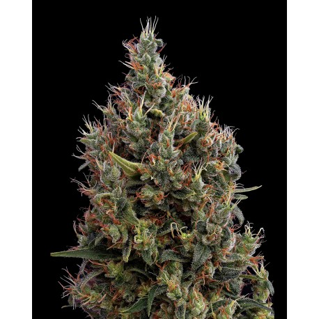 buy cannabis seeds Big Bang Auto