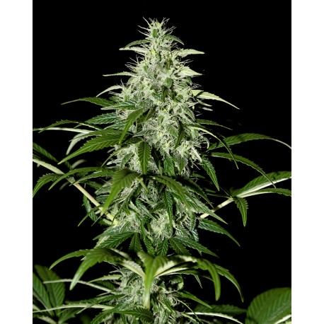 buy cannabis seeds Kalashnikova Auto