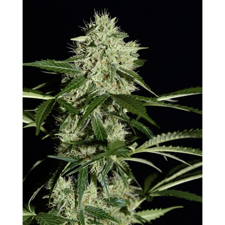 buy cannabis seeds NL Auto
