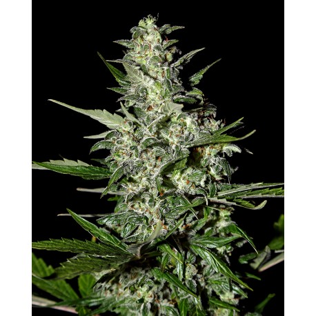 buy cannabis seeds Supercritical Auto