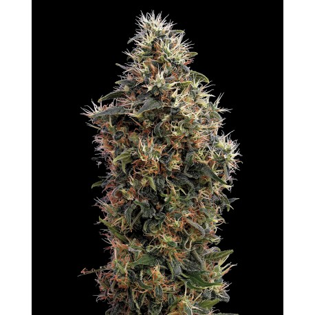 buy cannabis seeds Sweet Mango Auto