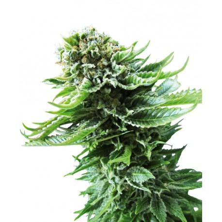 buy cannabis seeds Northern Lights Auto
