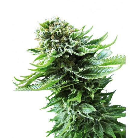 buy cannabis seeds Northern Lights Auto