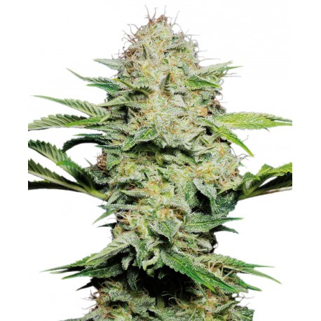 buy cannabis seeds Sensi Skunk Auto