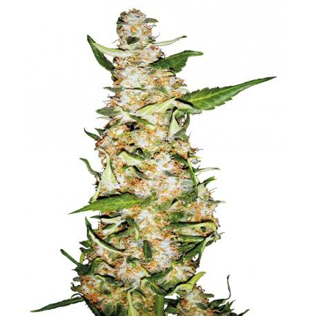 buy cannabis seeds Skunk #1 Auto