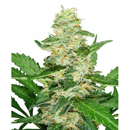 buy cannabis seeds Super Skunk Auto