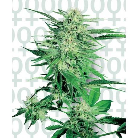 buy cannabis seeds Big Bud