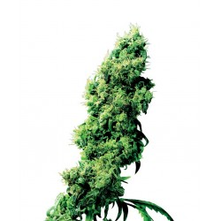 Four Way cannabis seeds Sensi Seeds