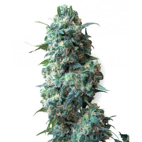 buy cannabis seeds Afghan Kush