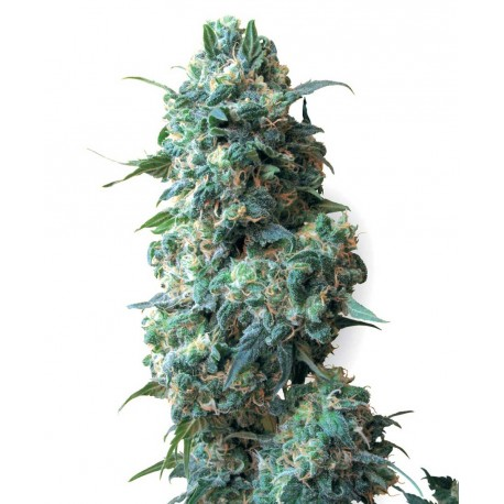 buy cannabis seeds Afghan Kush