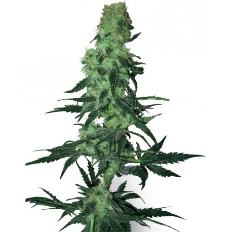 buy cannabis seeds Amnesia White