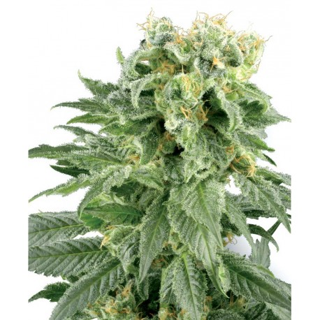 buy cannabis seeds Double Gum