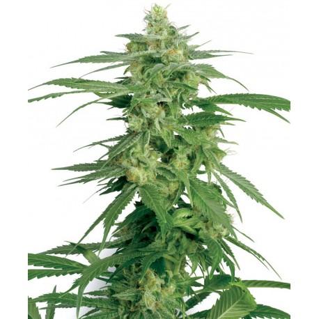 buy cannabis seeds Hollands Hope