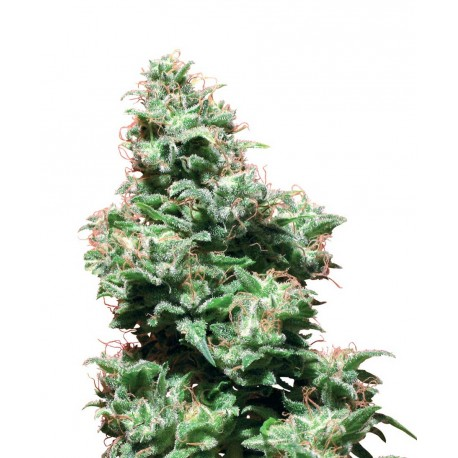 buy cannabis seeds Kali Haze