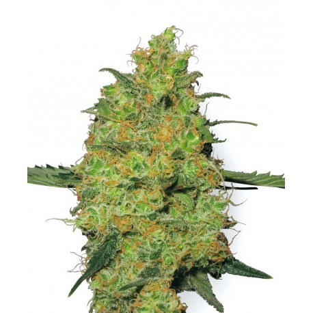 buy cannabis seeds Master Kush