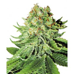 NL AUTOMATIC cannabis seeds White Label
