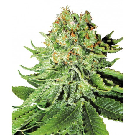 buy cannabis seeds NL AUTOMATIC