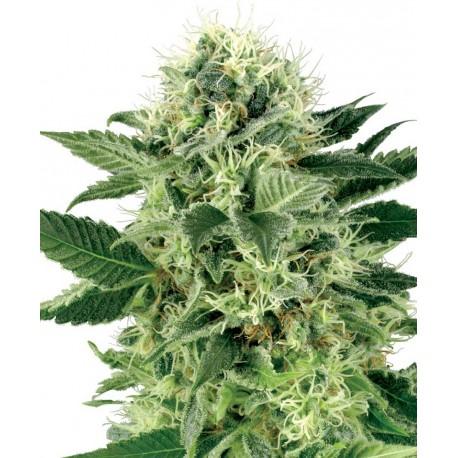 buy cannabis seeds Northern Lights