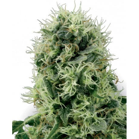 buy cannabis seeds Pure Power Plant