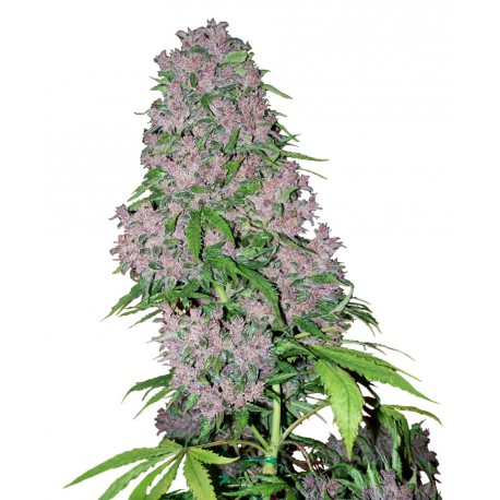 buy cannabis seeds Purple Bud