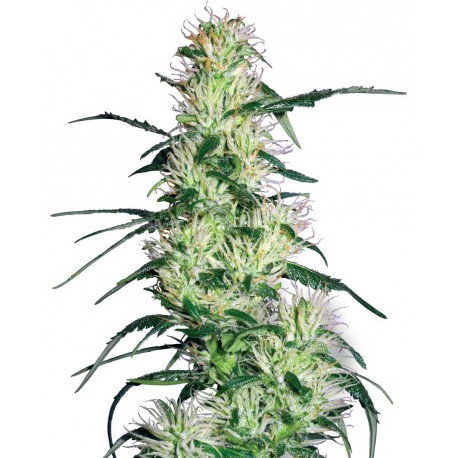 buy cannabis seeds Purple Haze