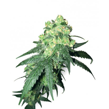 buy cannabis seeds White Label Rhino