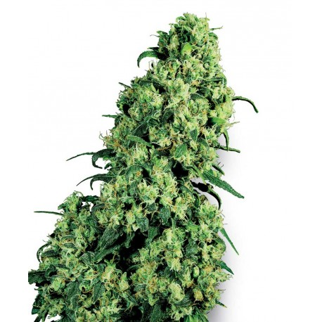 buy cannabis seeds Skunk #1