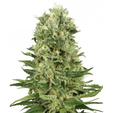 buy cannabis seeds Skunk # 1 AUTOMATIC