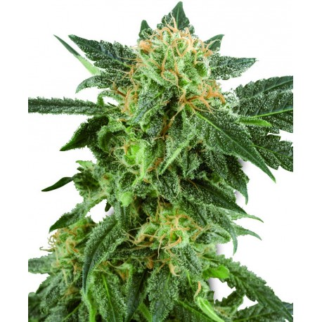 buy cannabis seeds Snow Ryder