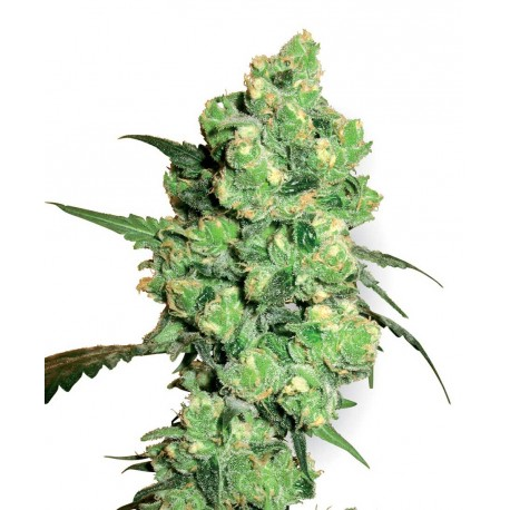 buy cannabis seeds Super Skunk